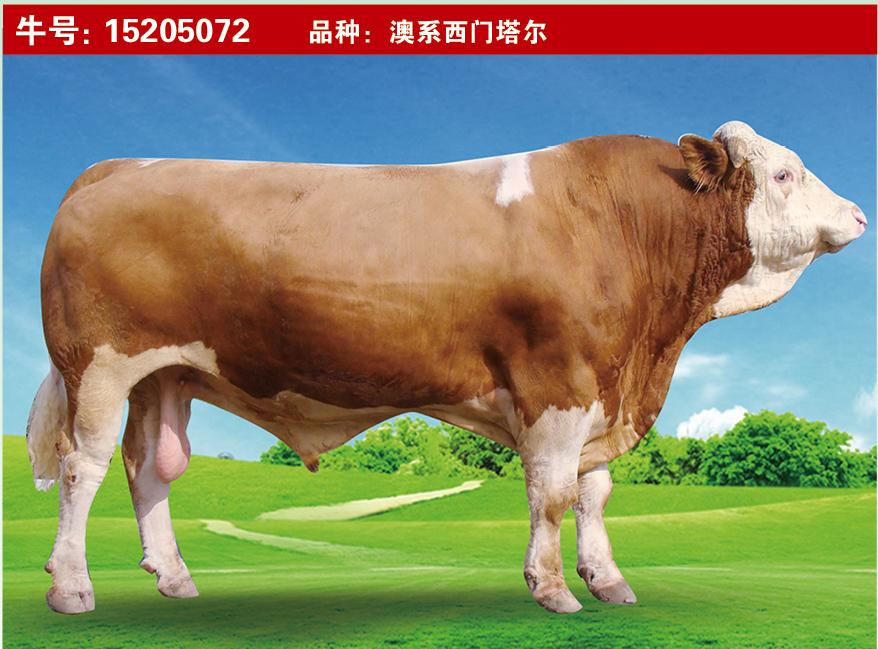 特级种公牛15205072