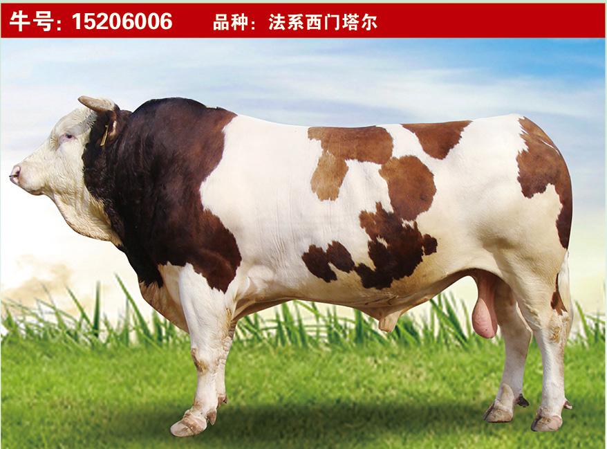 特级种公牛15206006