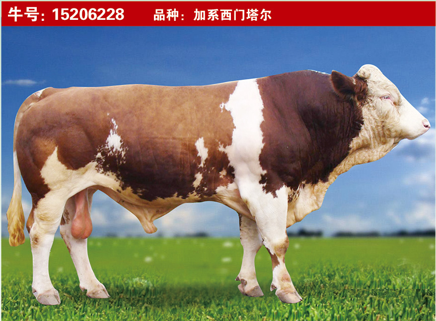 特级种公牛15206228