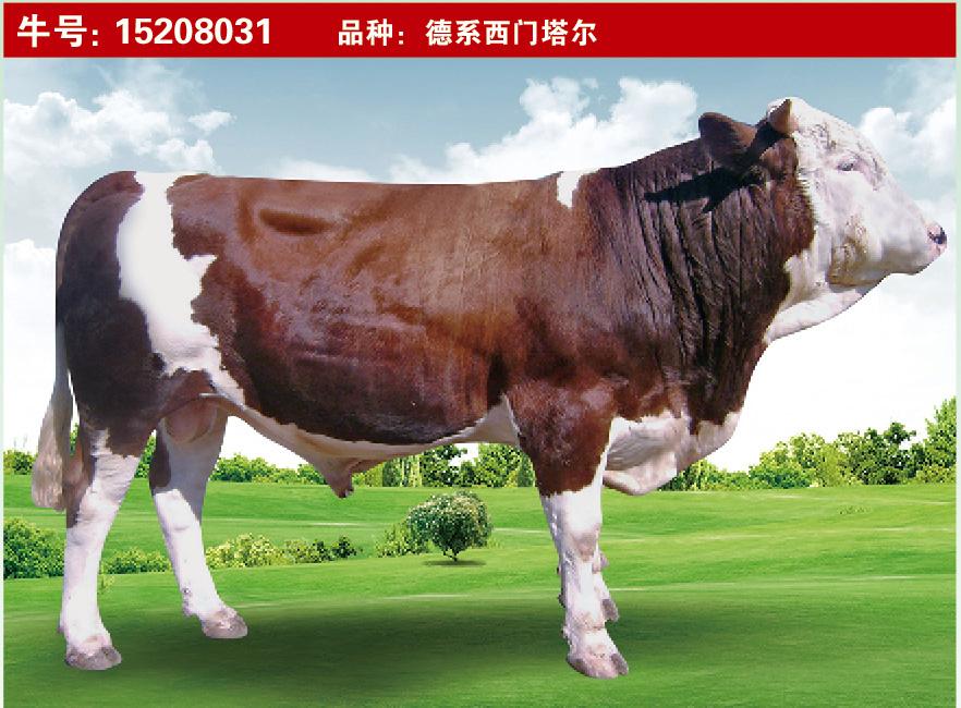 特级种公牛15208031