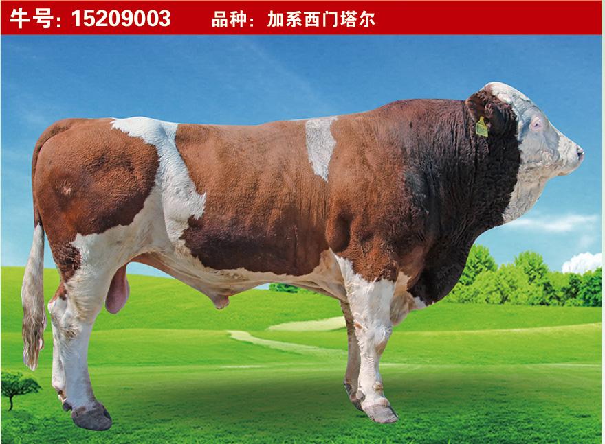 特级种公牛15209003