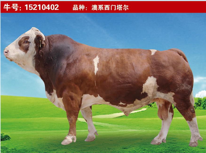 特级种公牛15210402