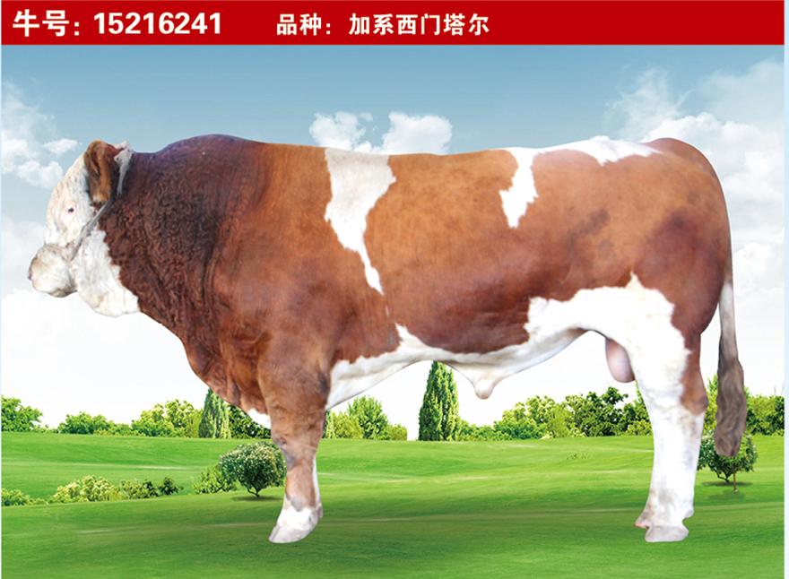 特级种公牛15216241