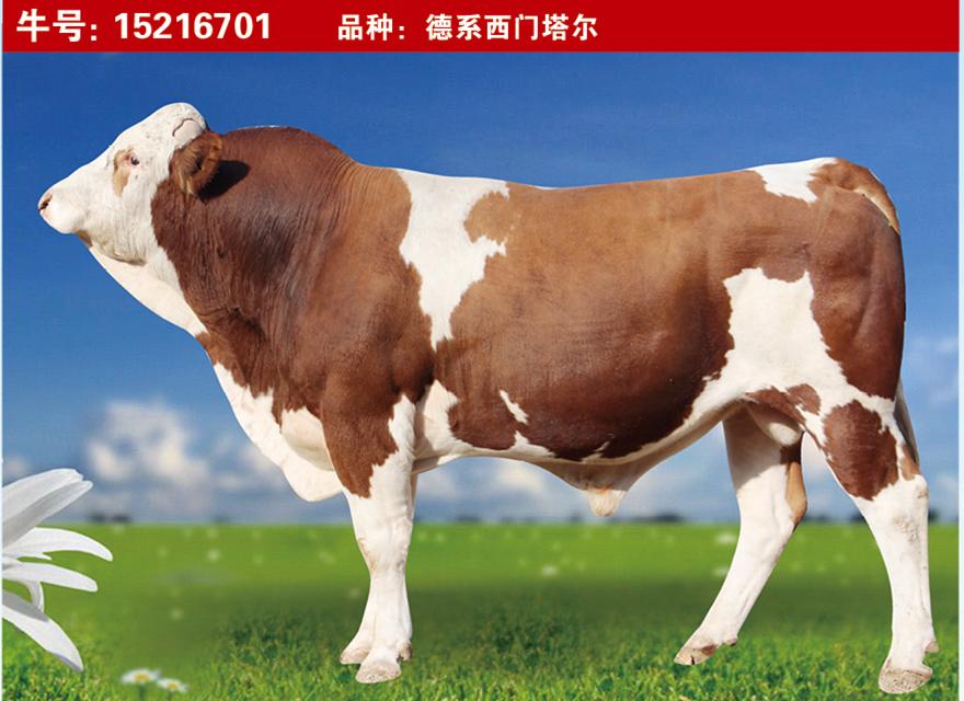 特级种公牛15216701