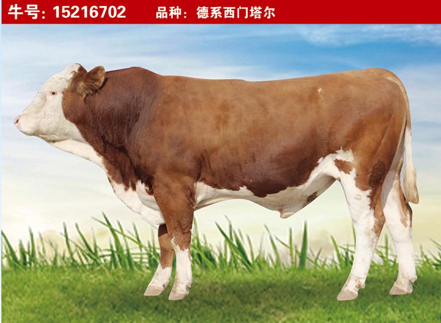 特级种公牛15216702