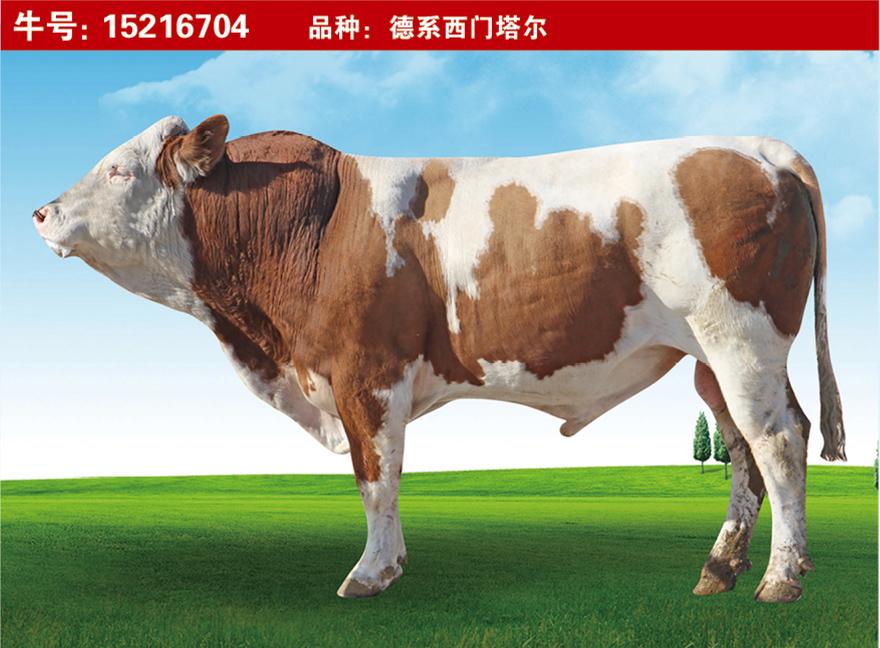 特级种公牛15216704