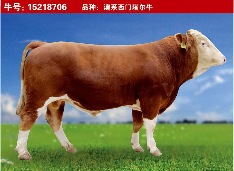 澳系西门塔尔牛15218706