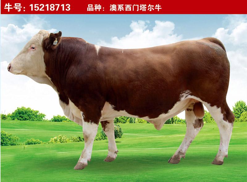 澳系西門塔爾牛15218713