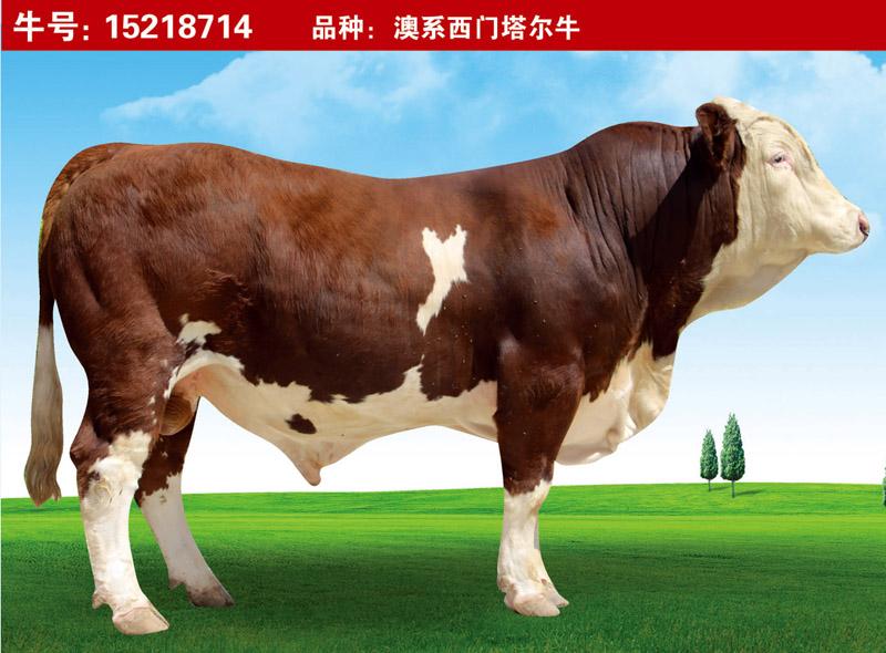 澳系西門塔爾牛15218714