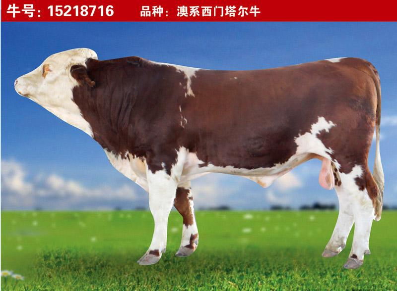 澳系西门塔尔牛15218716