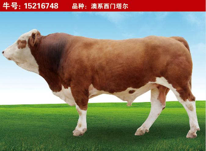 特级种公牛15216748